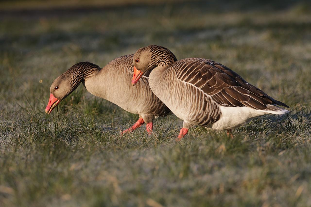 Фотографии гусь Птицы две Трава животное Гуси птица 2 два Двое вдвоем траве Животные