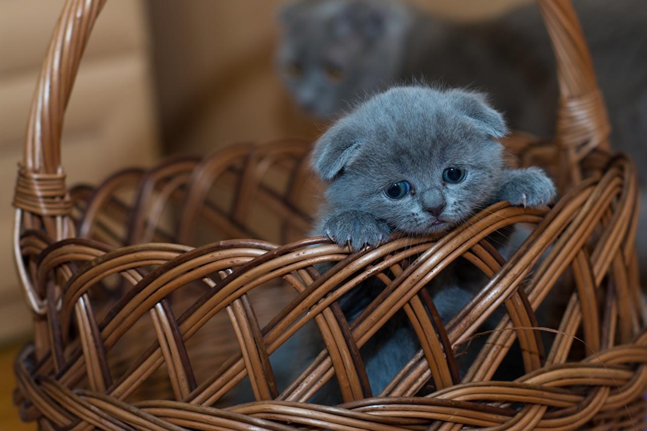 Картинка Котята Скоттиш-фолд Кошки Серый Корзинка Животные