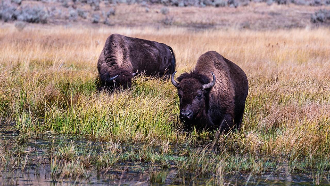 Обои для рабочего стола Быки Buffalo Двое Трава животное бык 2 два две вдвоем траве Животные