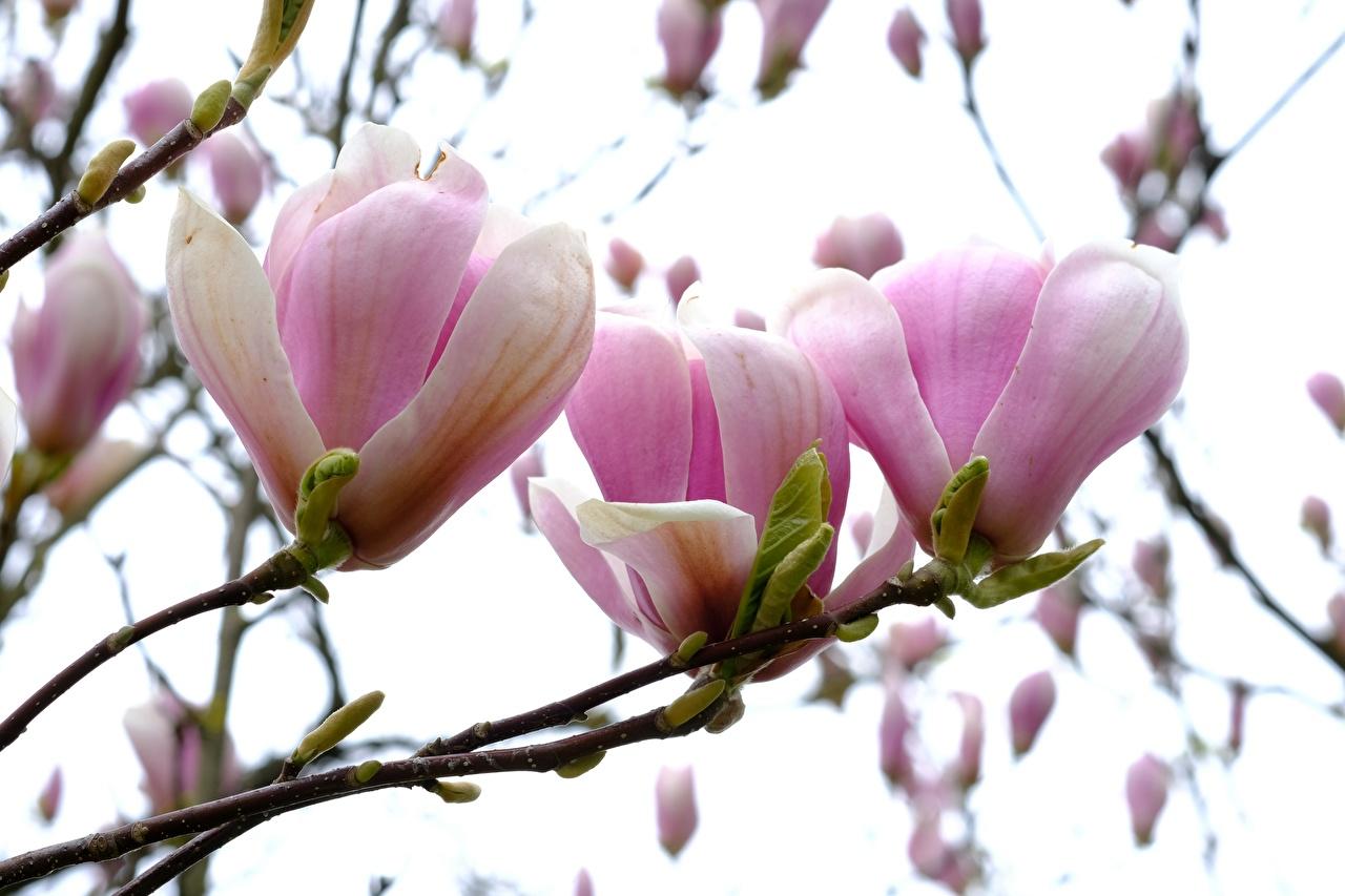 Фото розовые цветок Магнолия Ветки розовая Розовый розовых Цветы ветвь ветка на ветке