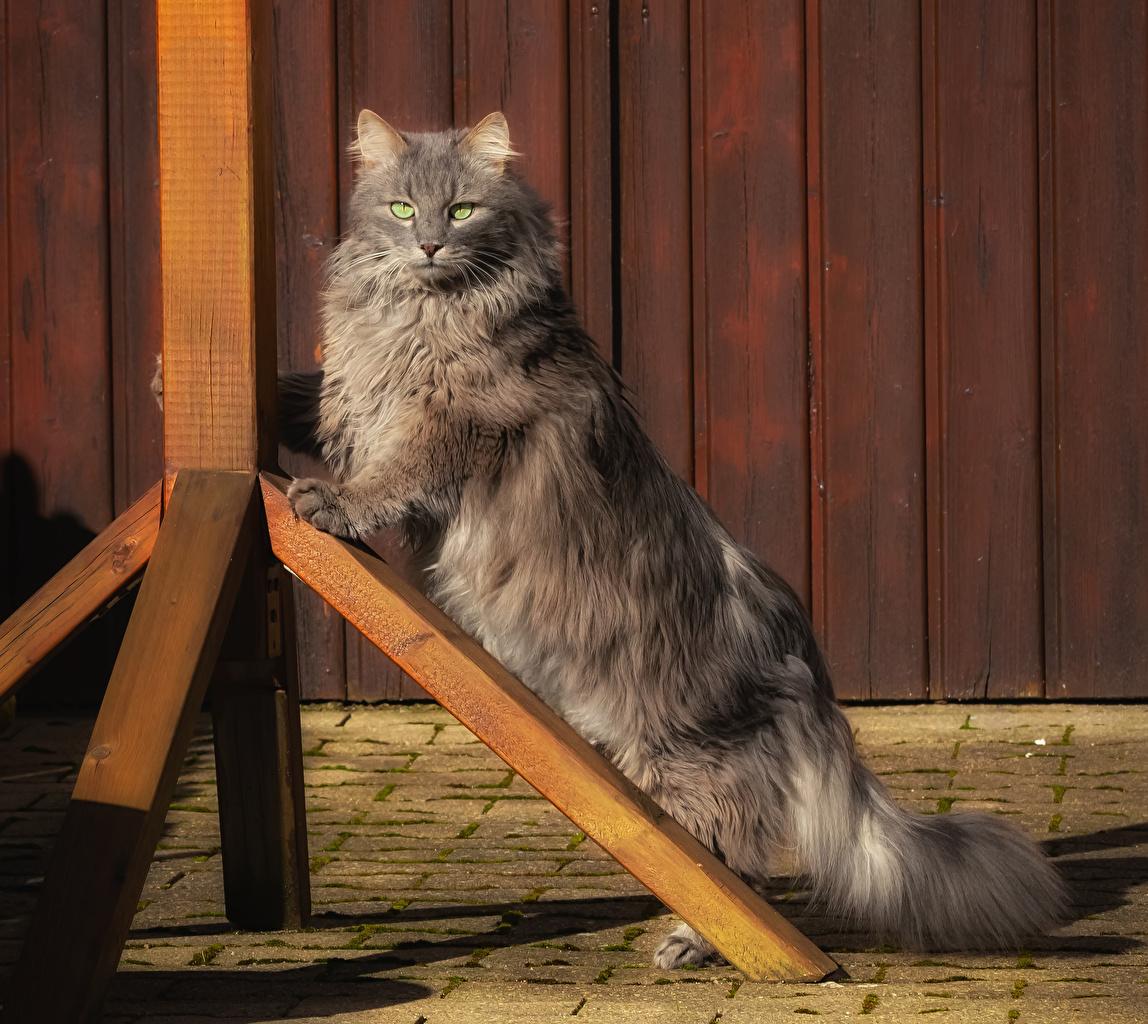 Обои для рабочего стола Кошки Серый Пушистый Взгляд животное кот коты кошка серая серые пушистые пушистая смотрит смотрят Животные