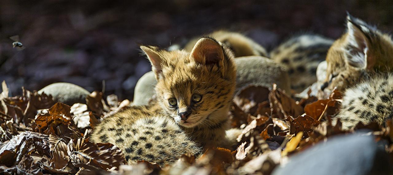 Фото кустарниковая кошка Большие кошки лист Детеныши Животные Сервал Листва Листья животное
