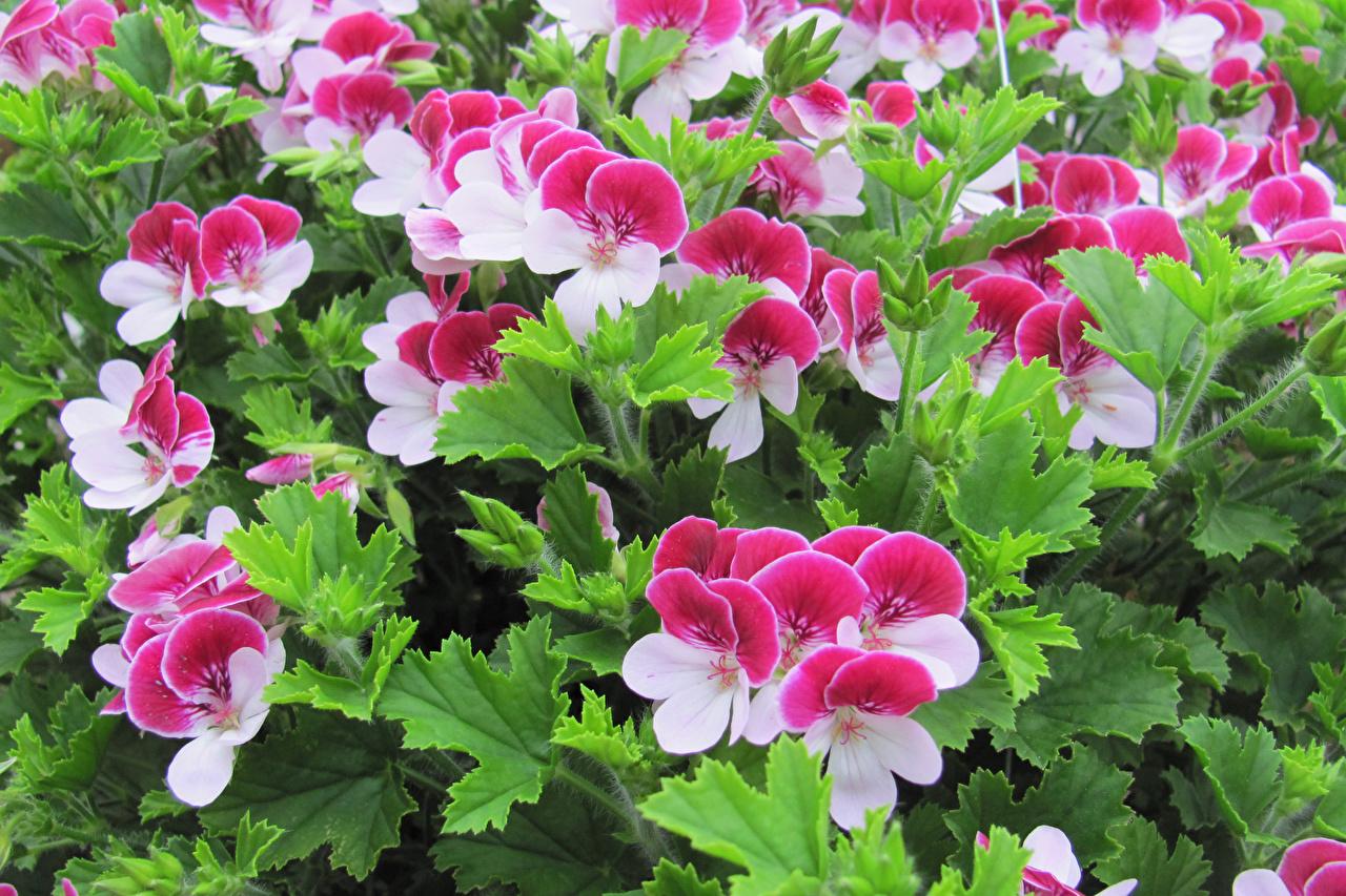 Картинки Цветы журавельник вблизи цветок Герань Крупным планом
