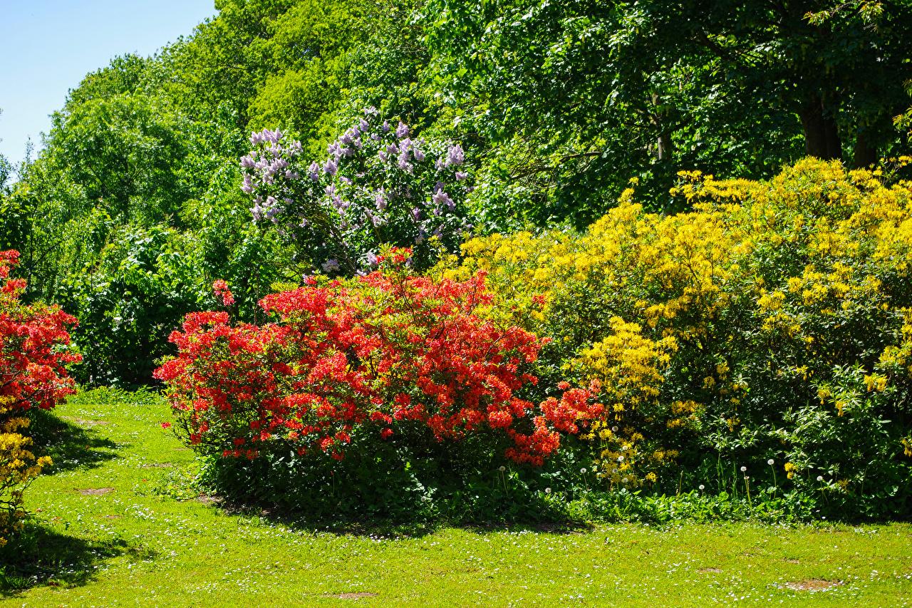 Фотографии Великобритания Malmesbury Park Природа Парки Рододендрон кустов Кусты
