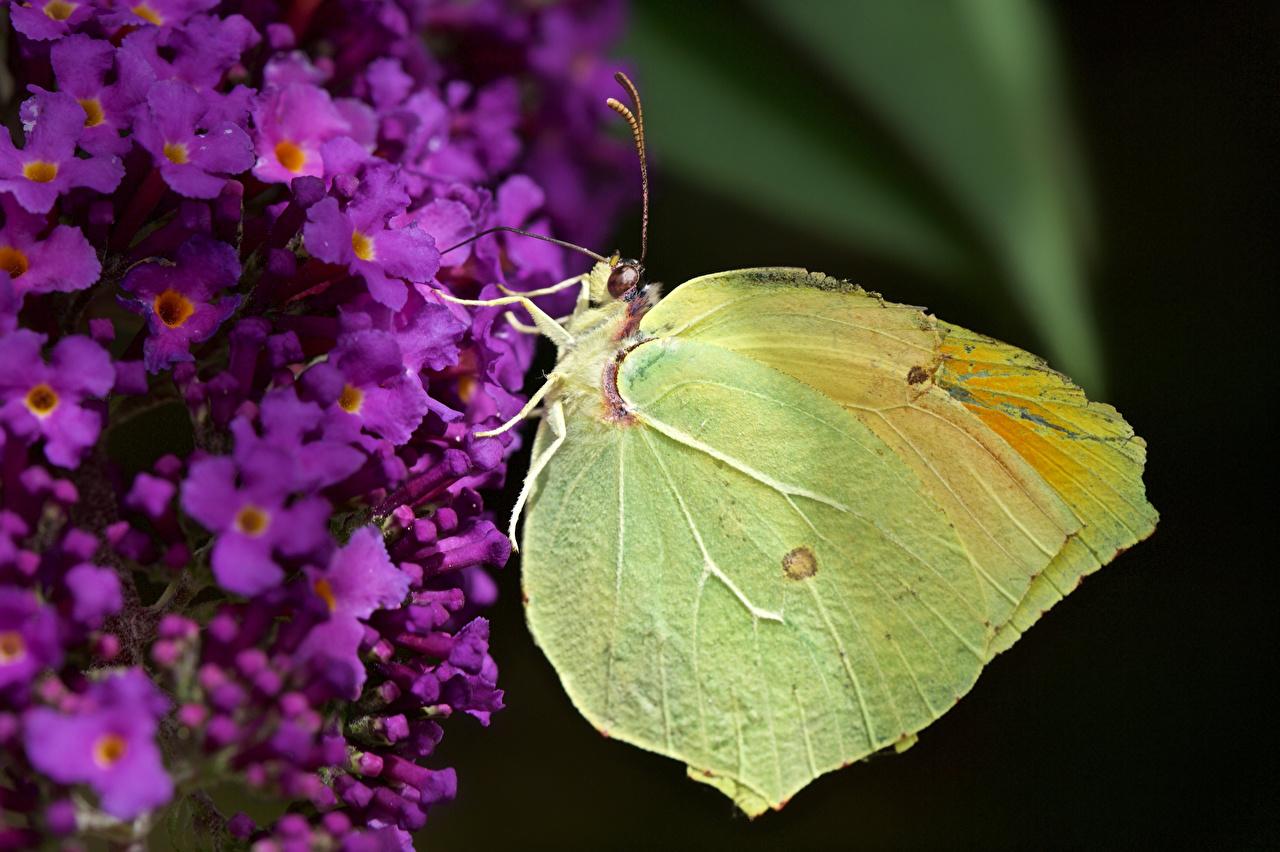 Фото Бабочки насекомое gonepteryx cleopatra вблизи животное бабочка Насекомые Животные Крупным планом