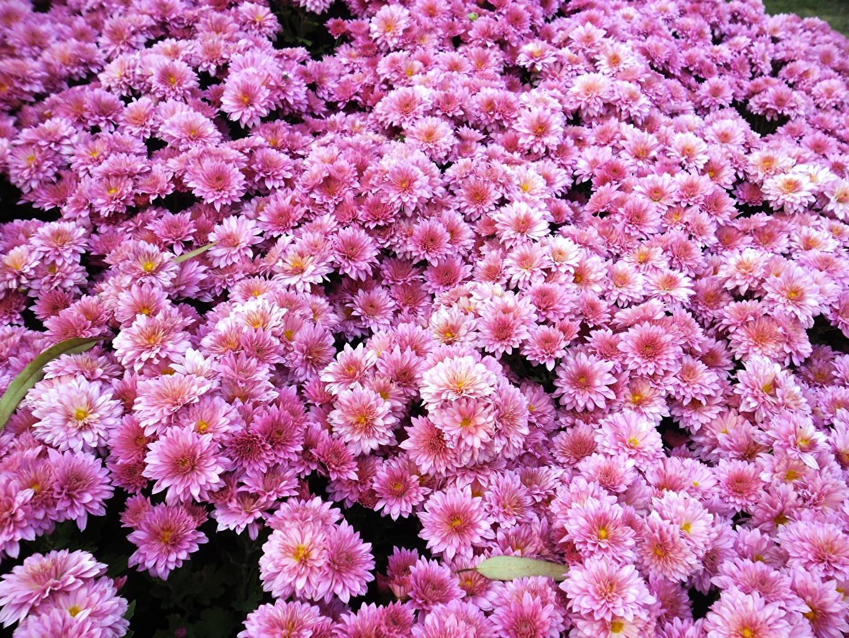 Обои Розовый Цветы Хризантемы Много