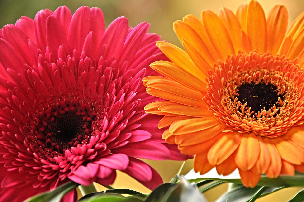 Картинка Герберы Лепестки цветок Крупным планом гербера лепестков Цветы вблизи