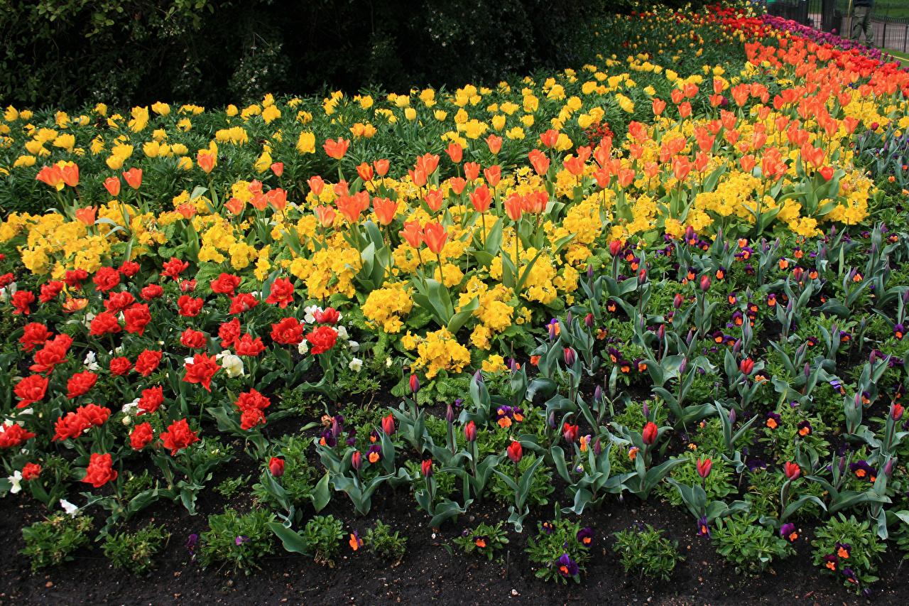 Обои для рабочего стола St James Park тюльпан весенние Анютины глазки Парки цветок Первоцвет Весна Тюльпаны Фиалка трёхцветная парк Цветы Примула