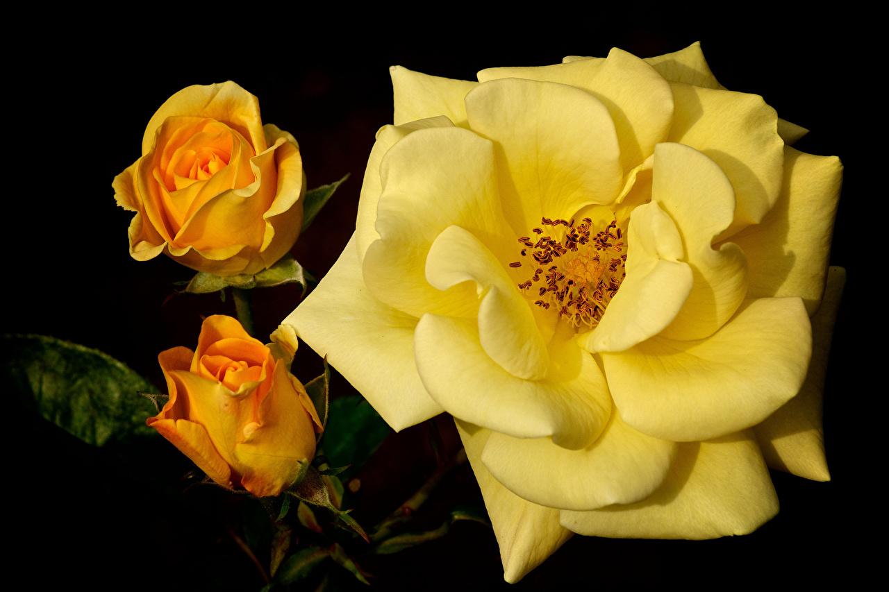 Фотография роза Желтый Цветы Крупным планом Розы желтых желтая желтые цветок вблизи