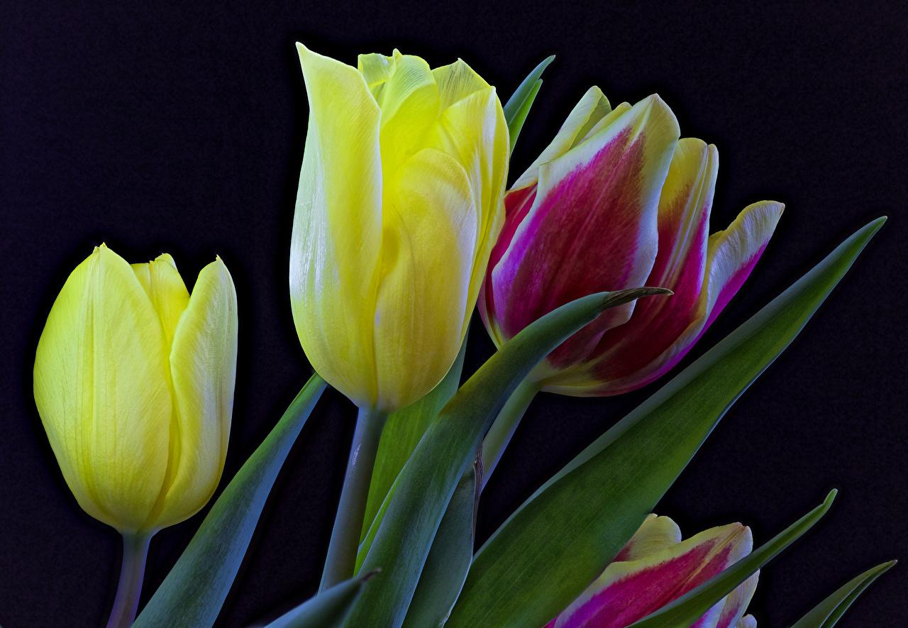 Обои для рабочего стола тюльпан Цветы Черный фон Крупным планом Тюльпаны цветок вблизи на черном фоне
