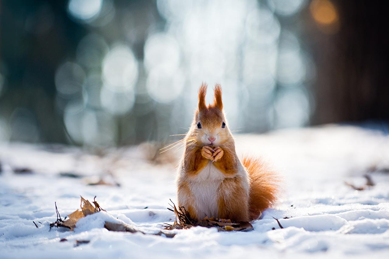 Картинки Белки Грызуны Рыжий зимние снега Животные белка Зима рыжая рыжие Снег снегу снеге животное
