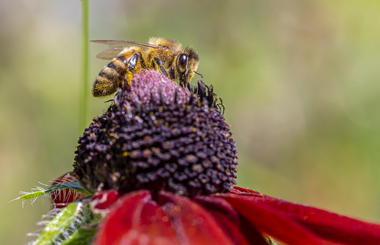 Обои для рабочего стола Пчелы насекомое боке Животные Крупным планом Насекомые Размытый фон вблизи животное
