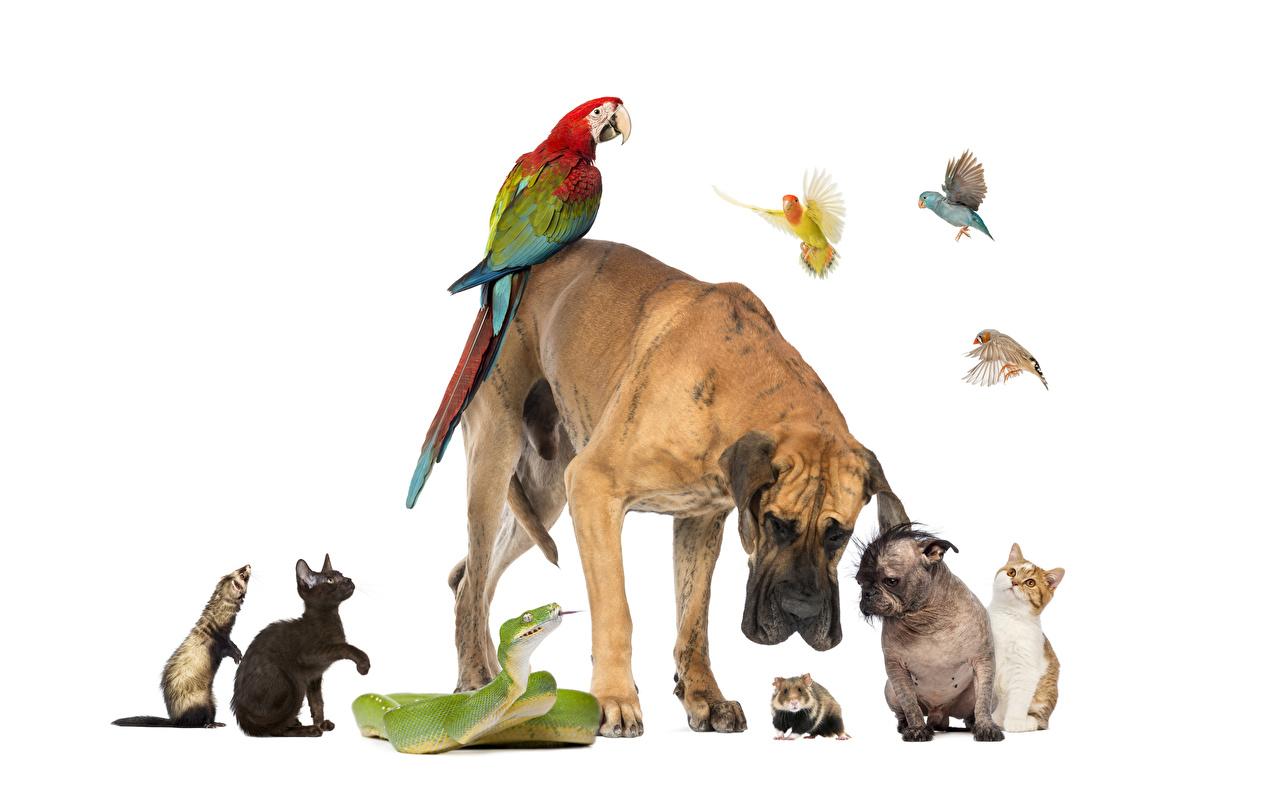 Картинка Еноты Боксер Коты Змеи Птицы Хомяки Собаки Попугаи Животные белым фоном боксера Кошки животное Белый фон белом фоне