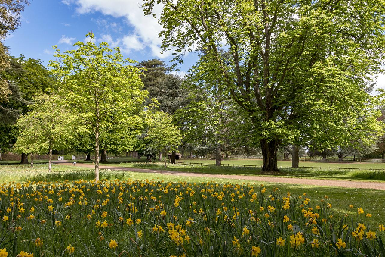 Картинки Великобритания Ascott House Gardens Природа Парки Нарциссы дерево парк дерева Деревья деревьев