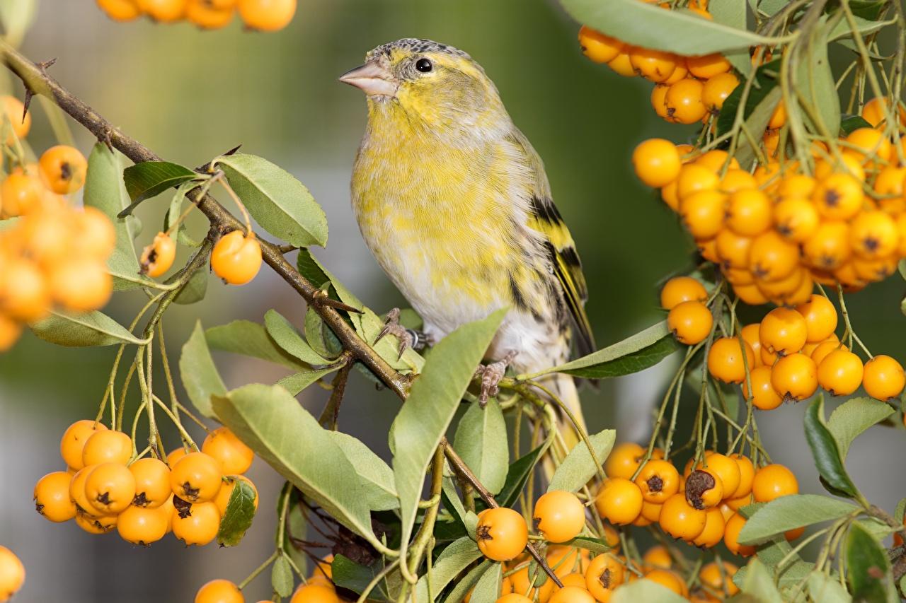 Картинки Птицы Листья Eurasian siskin male Ягоды ветка Животные птица лист Листва ветвь Ветки на ветке животное