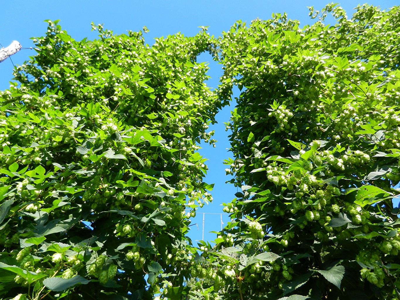 Фотография Листва Хмель Природа лист Листья