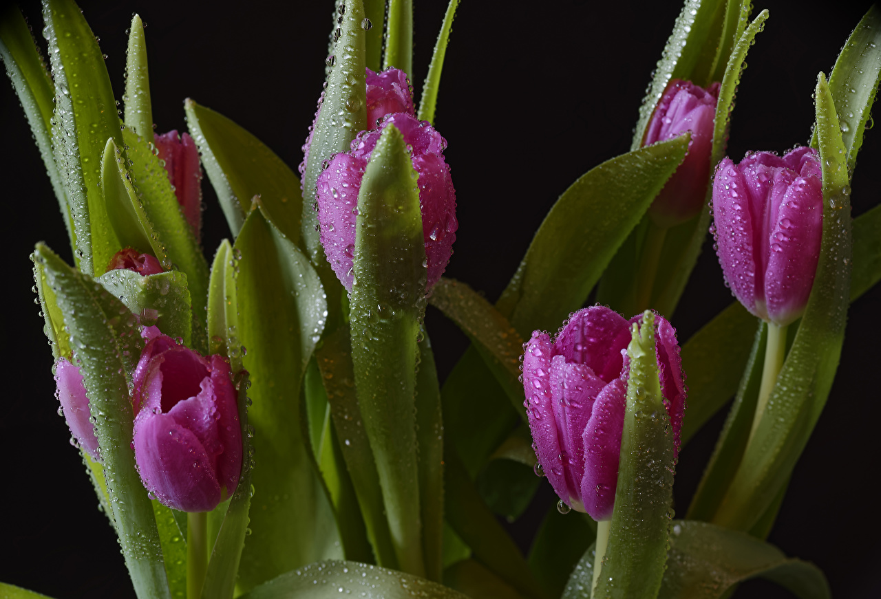 Картинки розовая Тюльпаны цветок капельки Черный фон розовых розовые Розовый тюльпан Цветы Капли капля капель на черном фоне