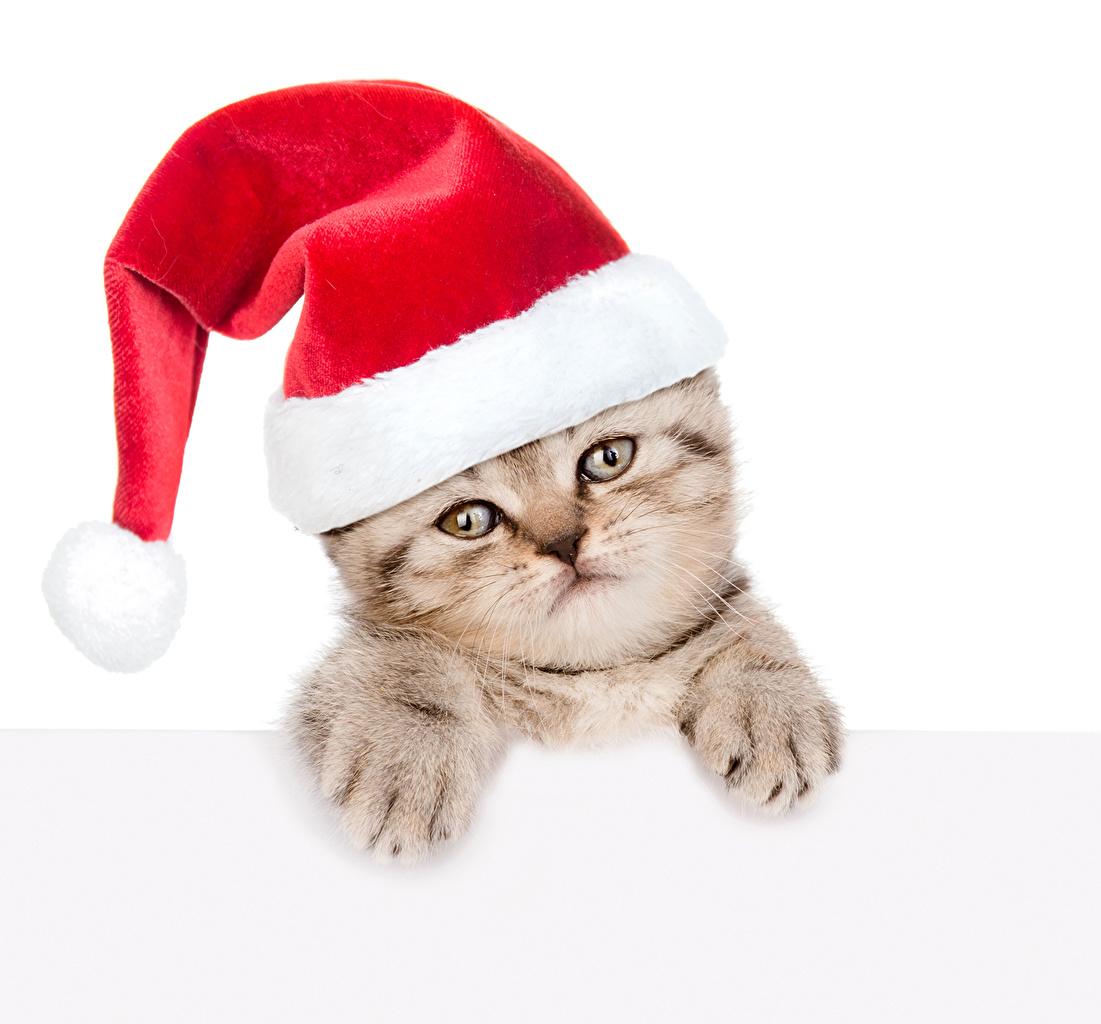 Фотографии котят коты Новый год Шапки Животные белым фоном Котята котенок котенка кот Кошки кошка Рождество шапка в шапке животное Белый фон белом фоне