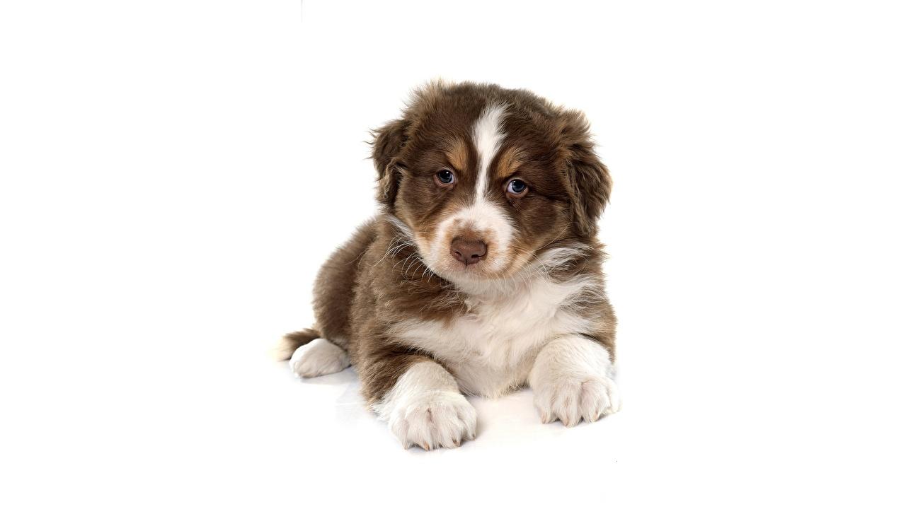 Фотография Щенок аусси Собаки лежат Взгляд Животные белым фоном щенка щенки щенков Австралийская овчарка собака лежа Лежит лежачие смотрит смотрят животное Белый фон белом фоне