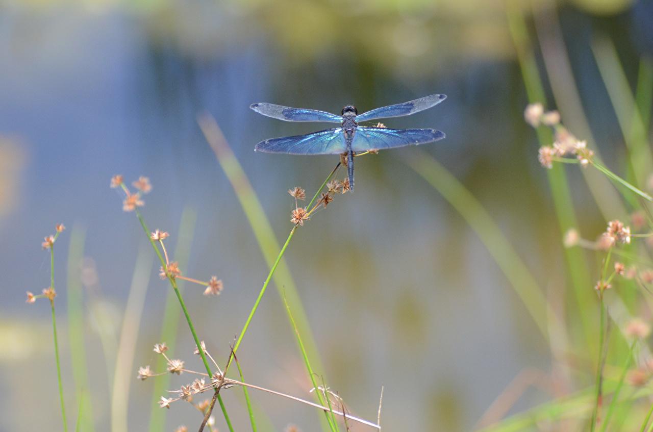 Фото Стрекозы Насекомые Трава вблизи Животные насекомое траве животное Крупным планом