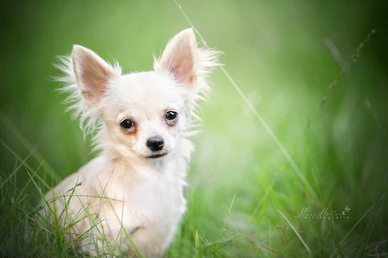 Обои для рабочего стола Чихуахуа собака белых Взгляд животное Собаки Белый белые белая смотрит смотрят Животные