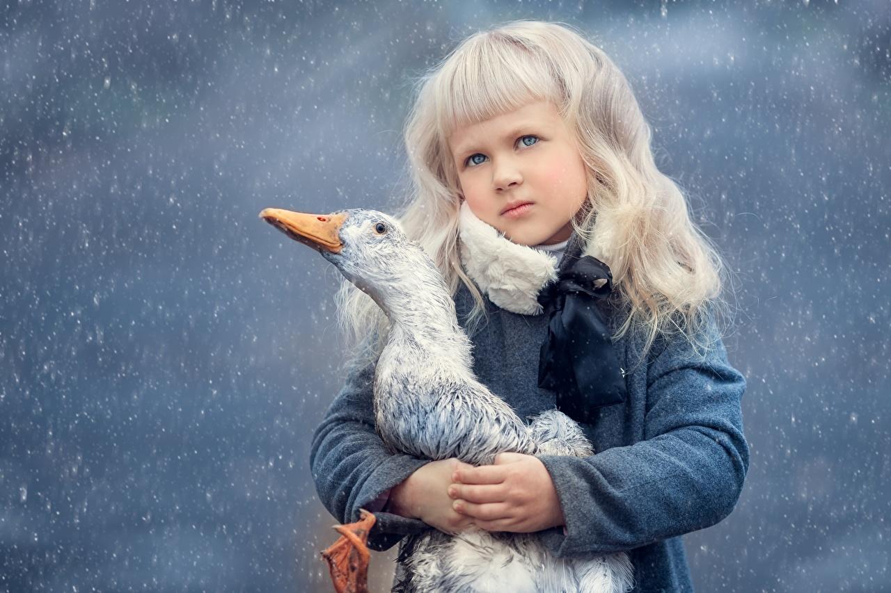 Картинки Гуси Птицы Блондинка ребёнок смотрят Животные гусь птица блондинки блондинок Дети Взгляд смотрит животное