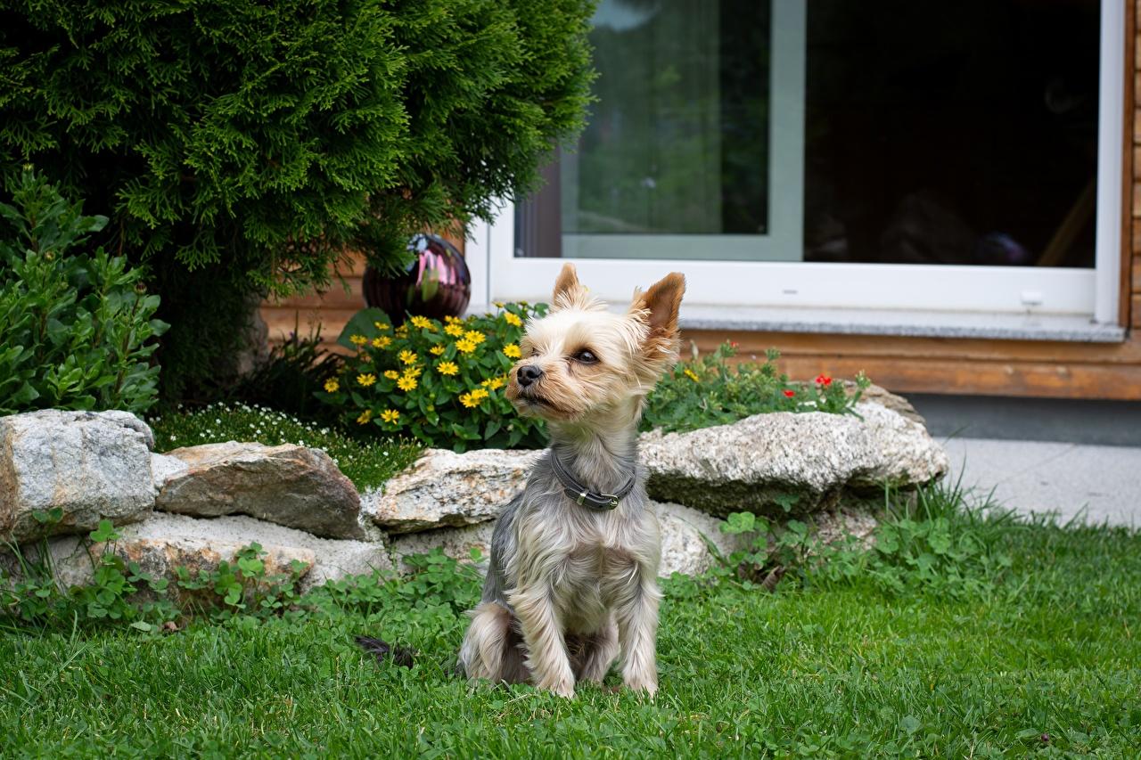 Обои для рабочего стола Йоркширский терьер собака Сидит траве Животные Собаки сидя Трава сидящие животное