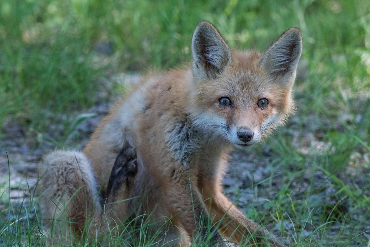Картинки Лисы траве смотрят Животные Лисица Трава Взгляд смотрит животное