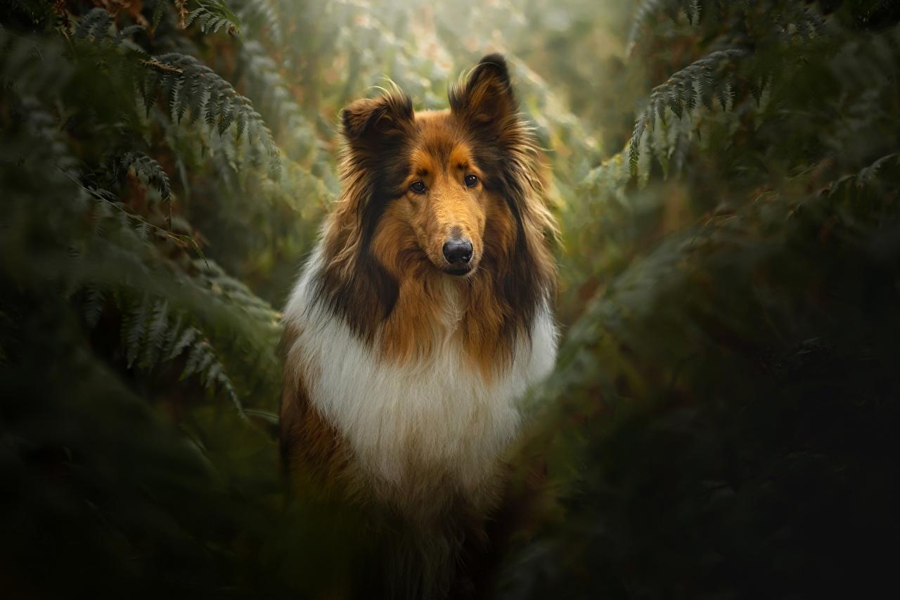 Фотография Колли Собаки Животные