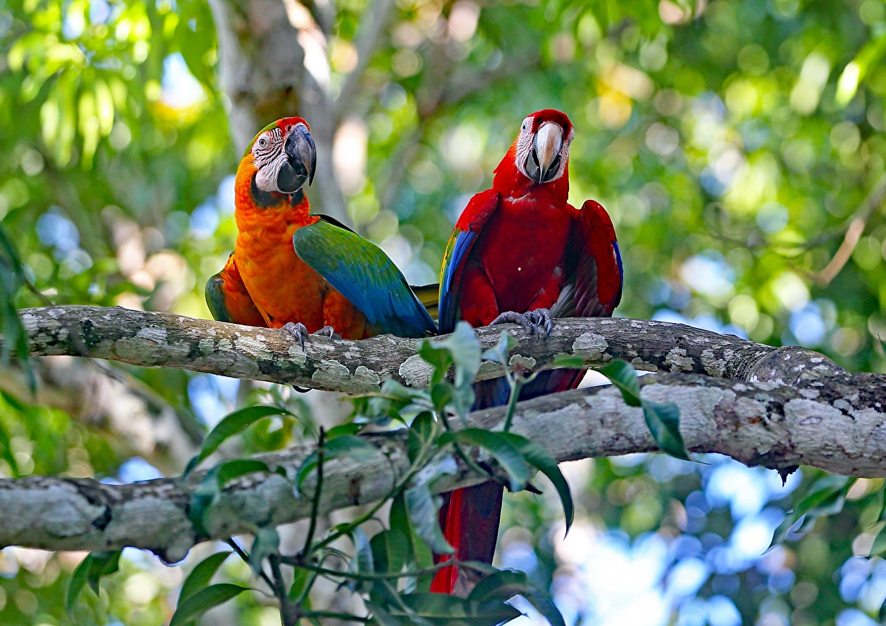 Обои для рабочего стола Ара (род) птица Попугаи вдвоем Ветки животное Птицы 2 два две Двое ветвь ветка на ветке Животные
