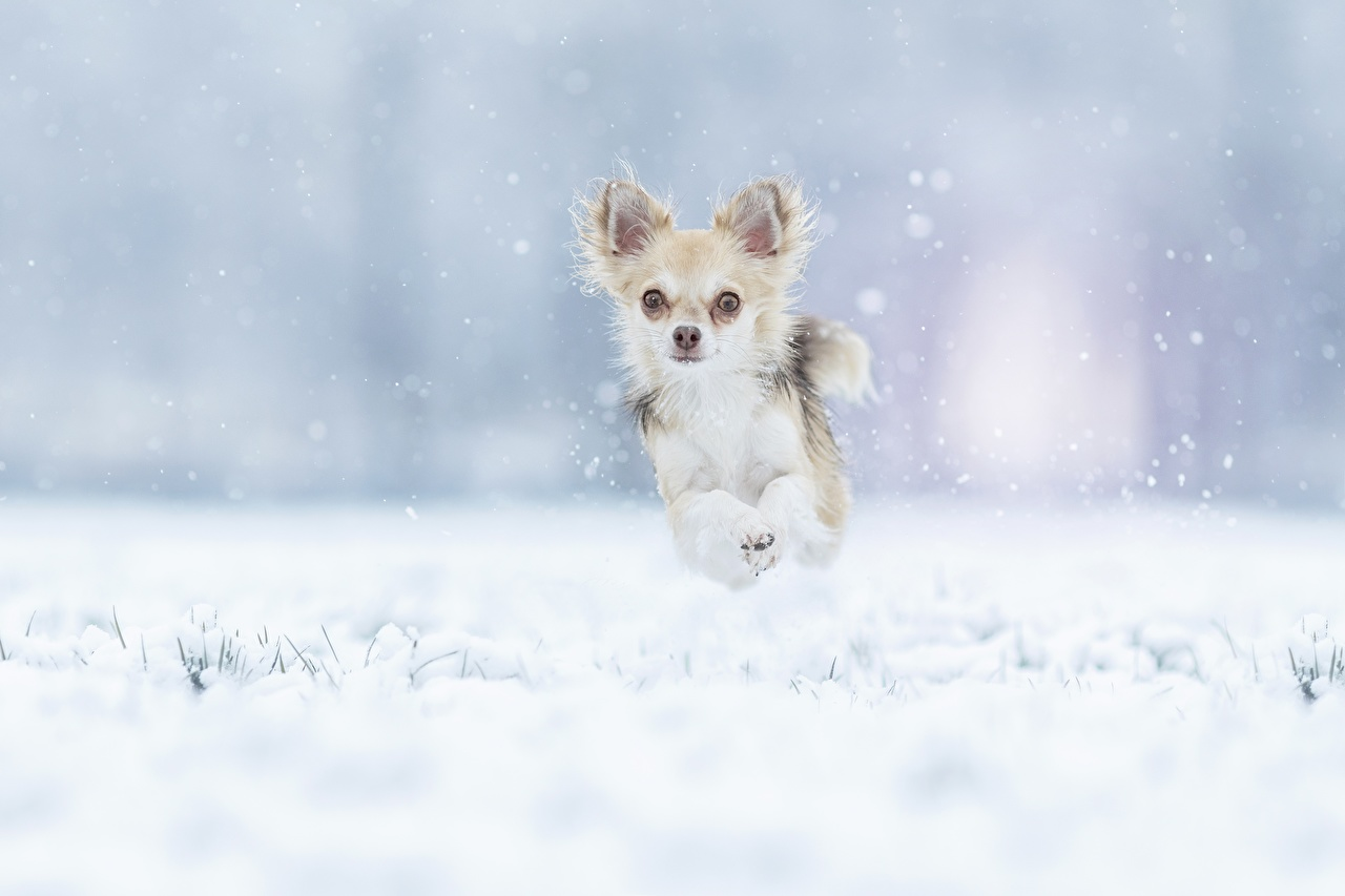 Фотография Чихуахуа собака бегущий Зима снегу прыгает Животные Собаки Бег бежит бегущая зимние Снег снега снеге Прыжок прыгать в прыжке животное