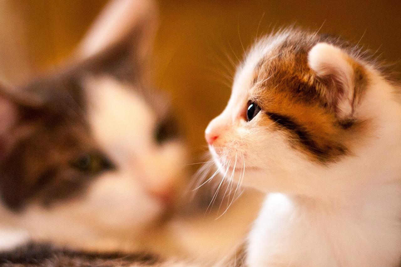 Фотография Котята коты морды Сбоку вблизи животное котят котенок котенка кот Кошки кошка Морда Животные Крупным планом
