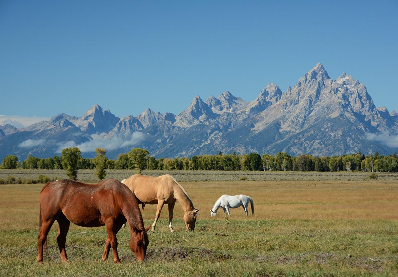 Фото Лошади америка Wyoming, Grand Teton national Park Горы Природа Луга Трое 3 траве лошадь США штаты гора три Трава втроем