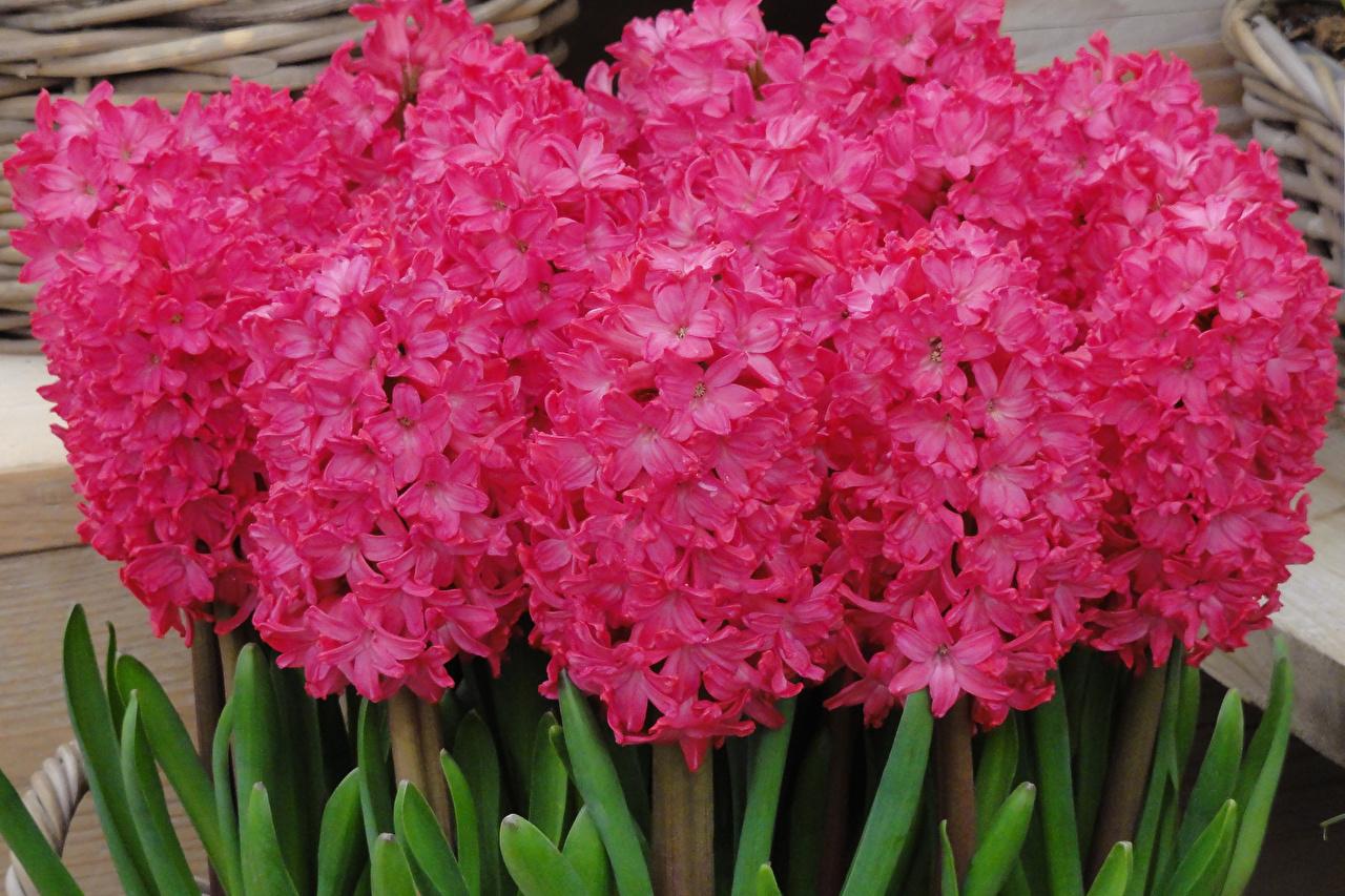 Фото Розовый Цветы Гиацинты Крупным планом розовых розовые розовая вблизи