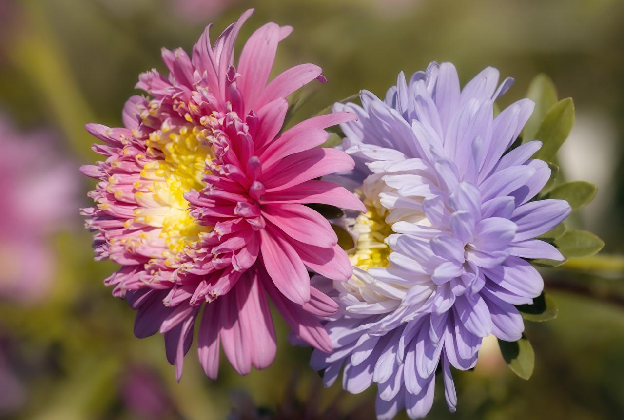 Фото Размытый фон вдвоем Астры цветок Крупным планом боке 2 два две Двое Цветы вблизи