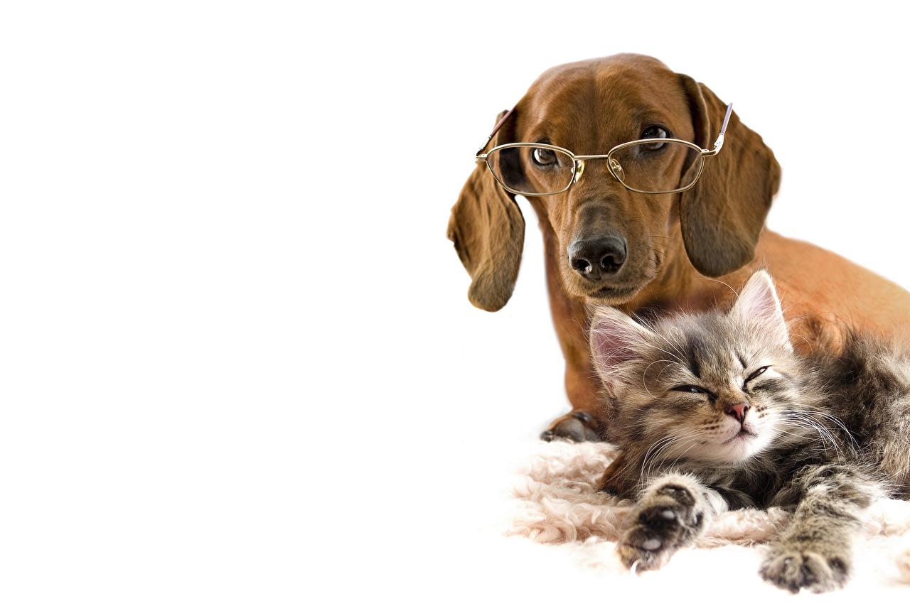 Фото таксы котенок Кошки Собаки 2 Очки Животные Белый фон Такса котят Котята котенка кот коты кошка собака две два Двое вдвоем очках очков животное белом фоне белым фоном