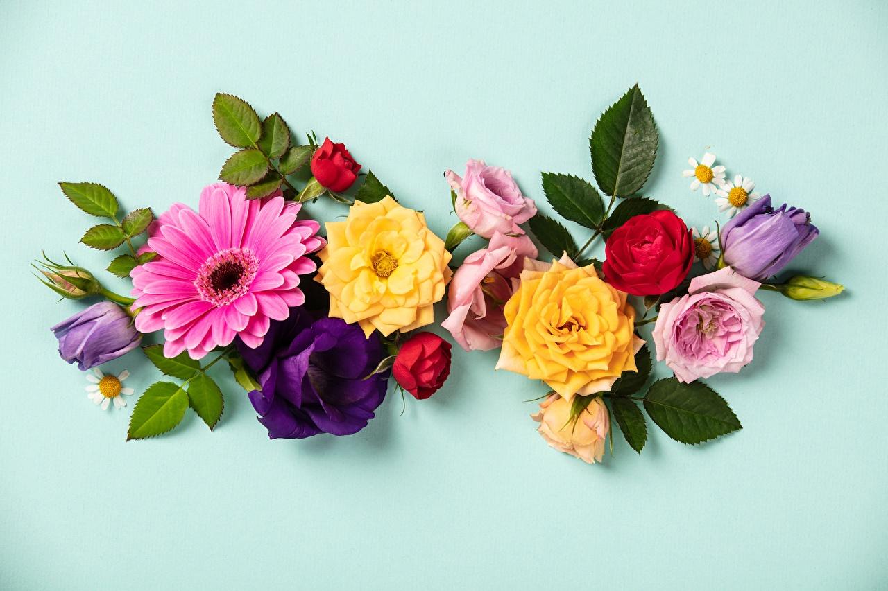 Фотография Розы тюльпан гербера цветок Цветной фон роза Герберы Тюльпаны Цветы