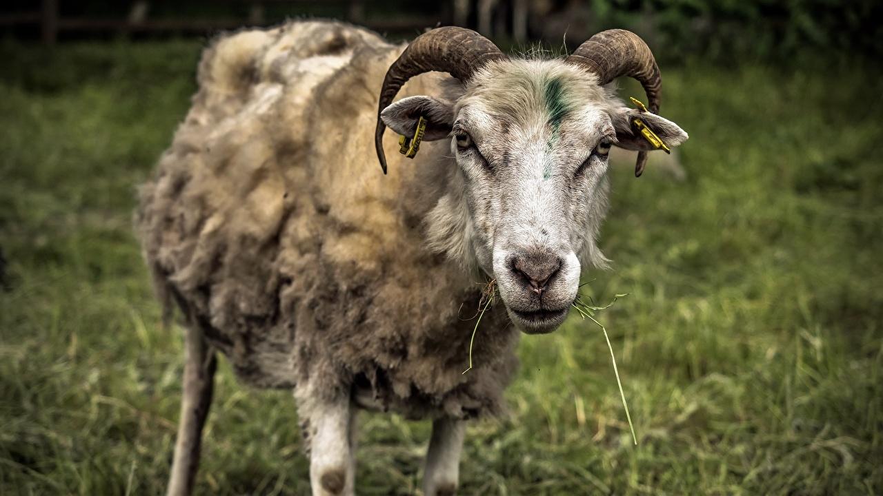 Фотографии Овцы Рога Морда Животные с рогами морды животное