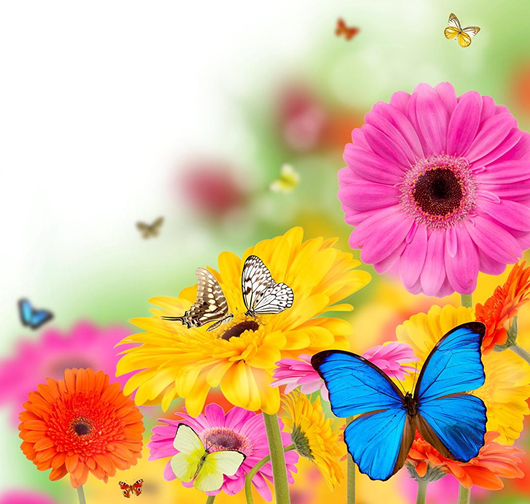 Фотография бабочка Насекомые гербера Цветы Животные Бабочки насекомое Герберы цветок животное