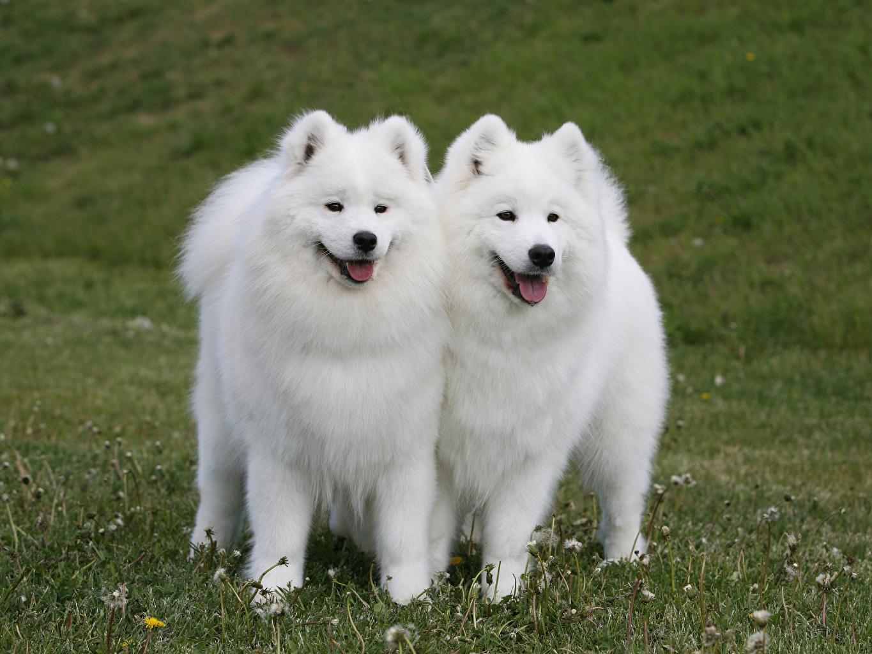Картинки Самоедская собака собака вдвоем траве Животные Собаки 2 два две Двое Трава животное
