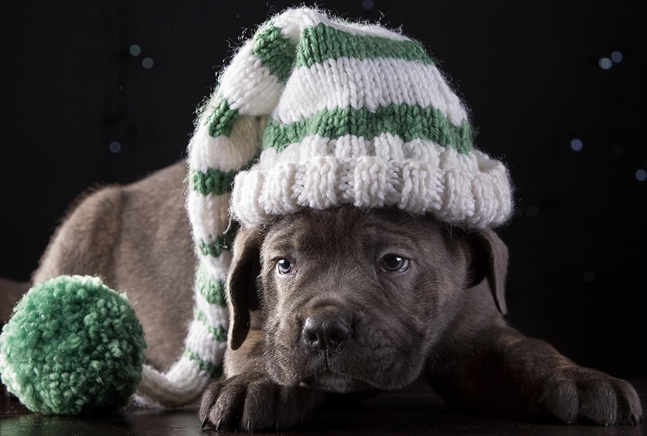 Картинка щенка Кане корсо Собаки Шапки животное щенки Щенок щенков шапка в шапке Животные
