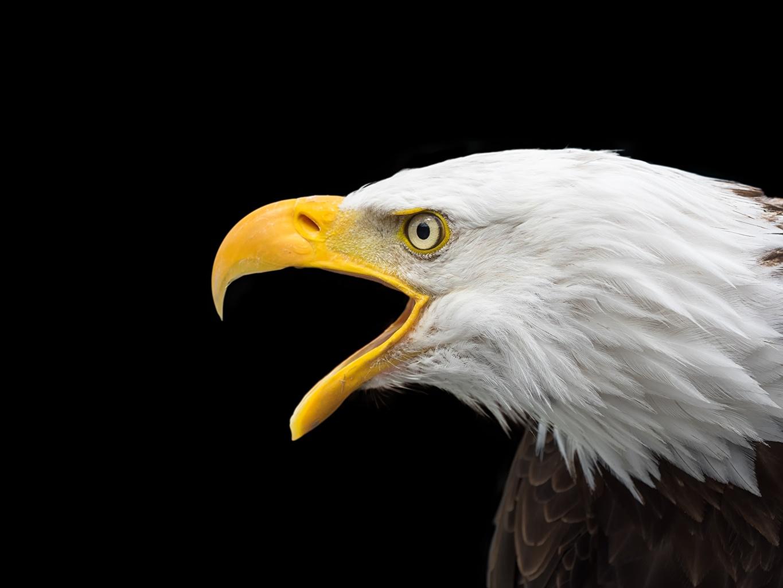Картинки Орлы bald eagle Клюв Черный вблизи Голова Животные Крупным планом