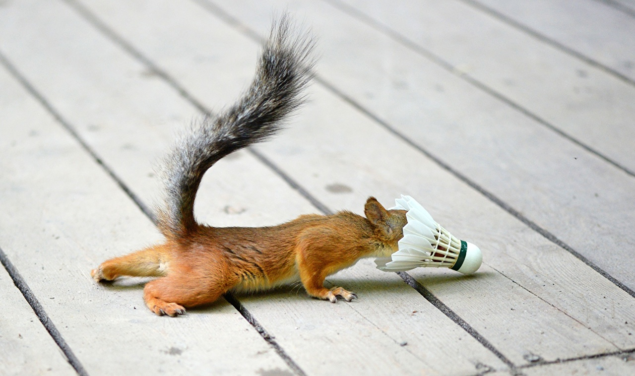 https://s1.1zoom.ru/big0/61/Squirrels_Boards_449333.jpg