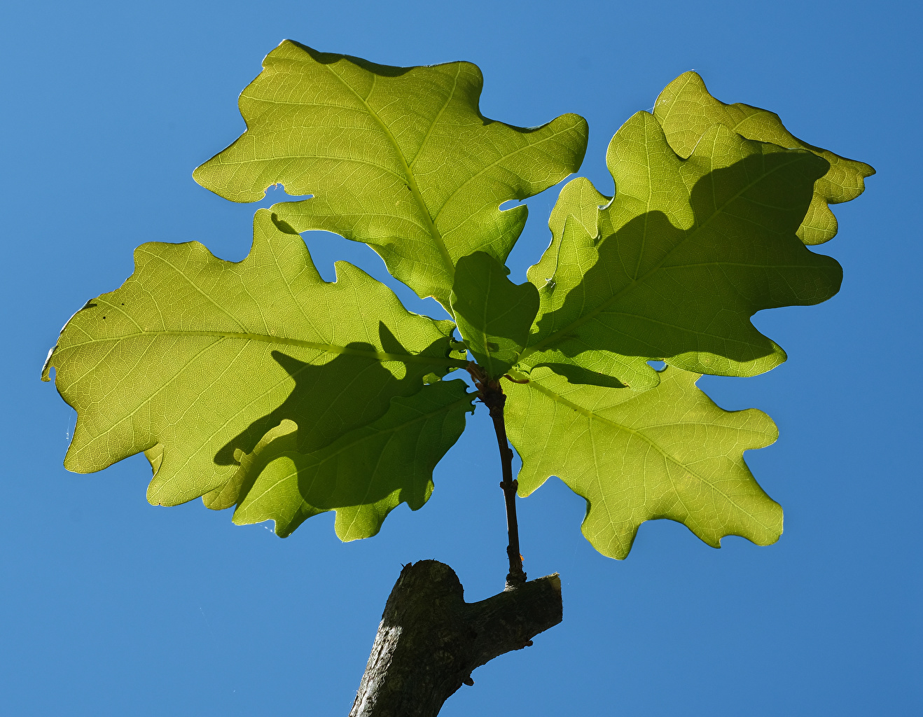 Фото лист Дуб Природа ветвь вблизи Листва Листья Ветки ветка на ветке Крупным планом