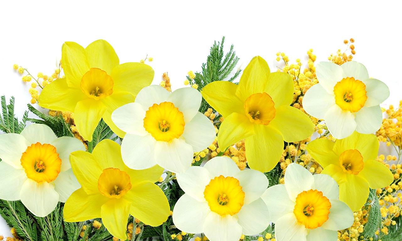 Картинки цветок Нарциссы вблизи Белый фон Цветы белом фоне белым фоном Крупным планом