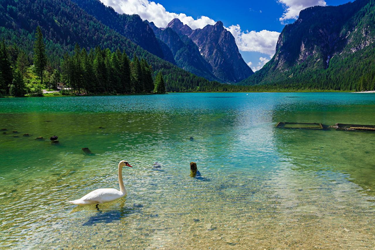 Обои для рабочего стола Лебеди альп Италия Lake Dobbiaco Горы Природа Озеро Животные лебедь Альпы гора животное