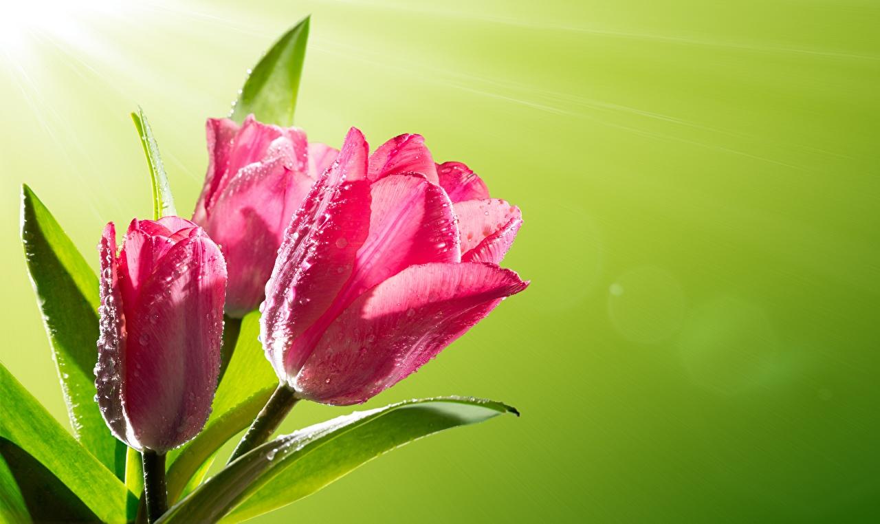Картинка тюльпан Розовый Капли Цветы Крупным планом Цветной фон розовые розовая розовых Тюльпаны капля капель цветок капельки вблизи