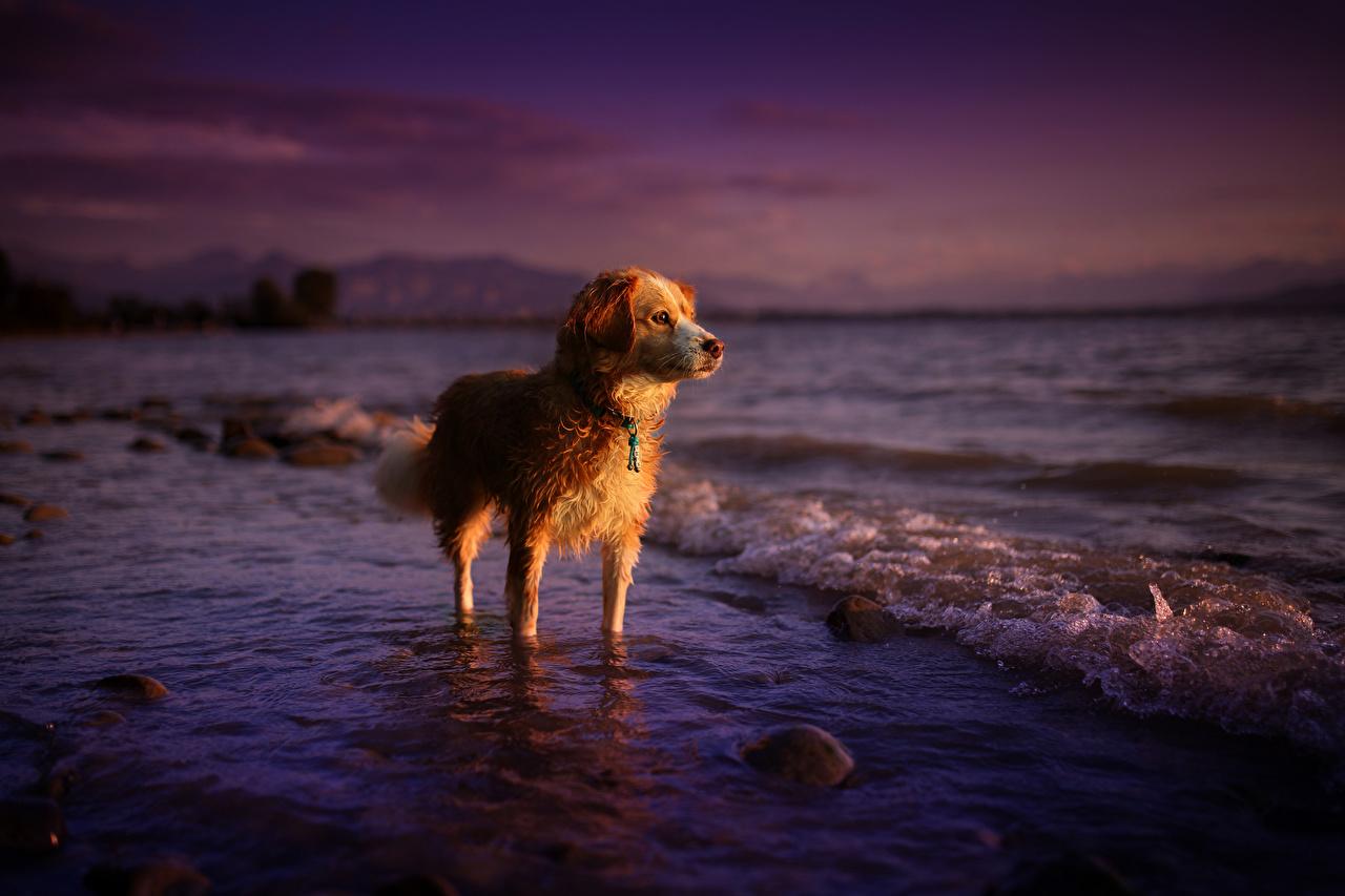 Картинка ретривера Собаки Море Животные Ретривер собака животное