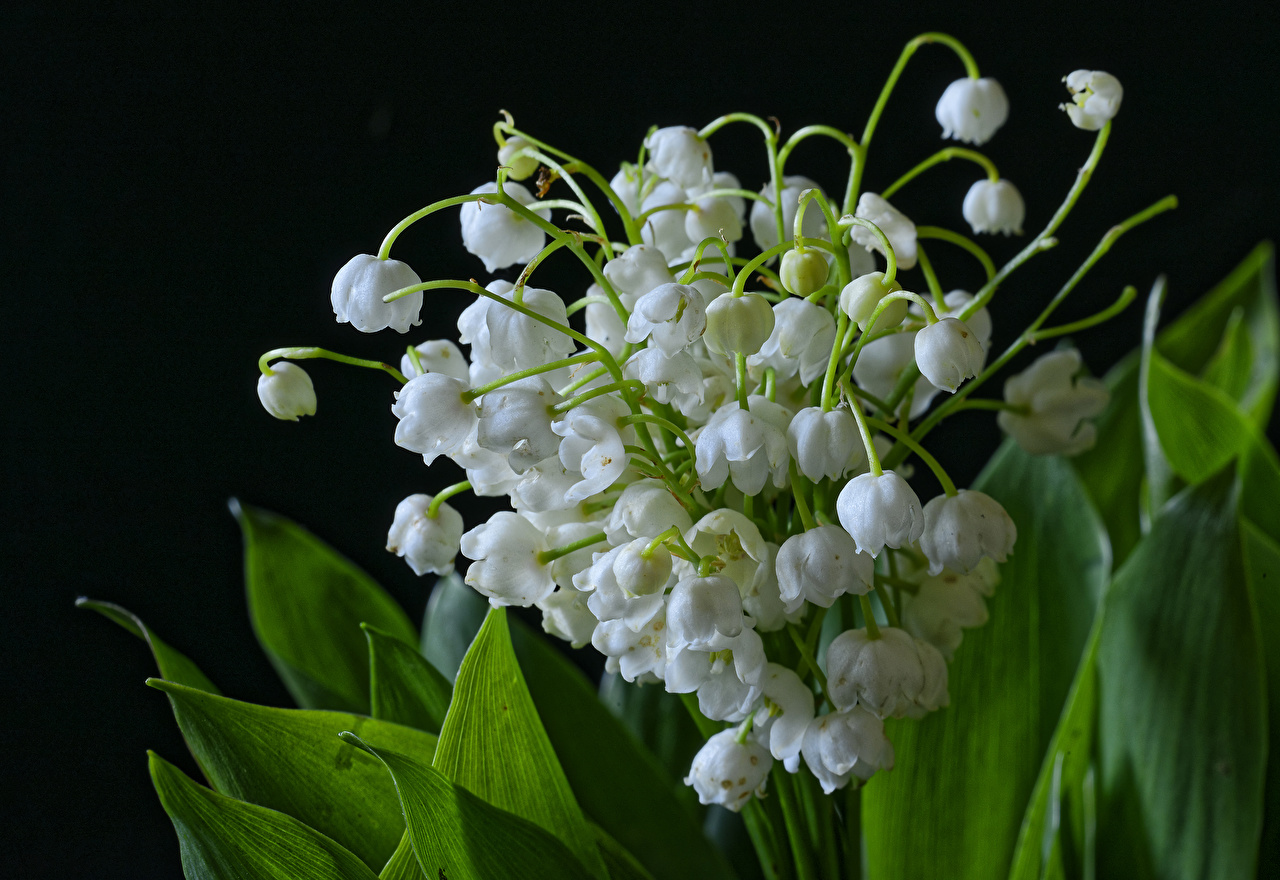 Обои Цветы Ландыши вблизи Черный фон Крупным планом