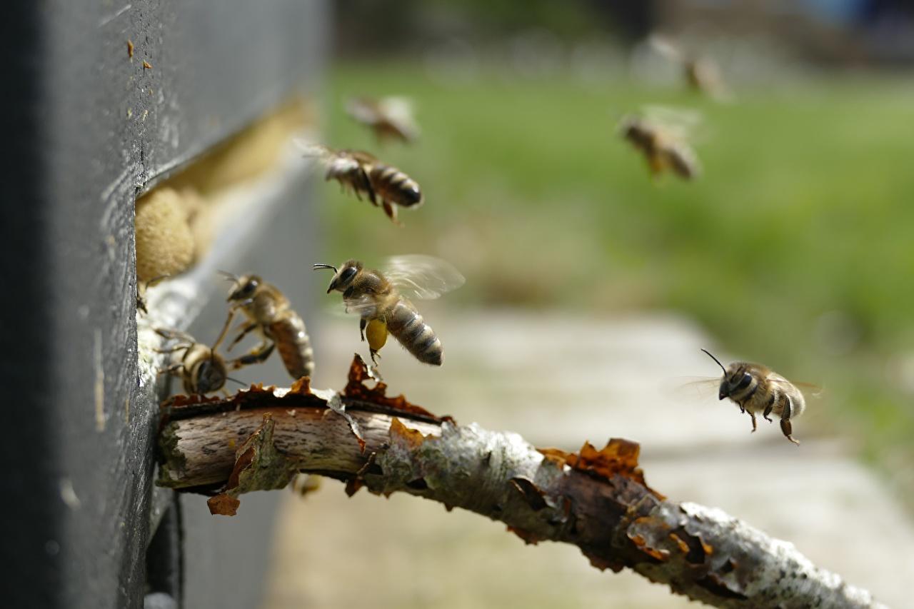 Картинка Пчелы Насекомые Размытый фон летит вблизи животное насекомое боке летят Полет летящий Животные Крупным планом